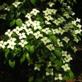 Kousa dogwood (Cornus kousa) in bloom in May after the leaves have matured.